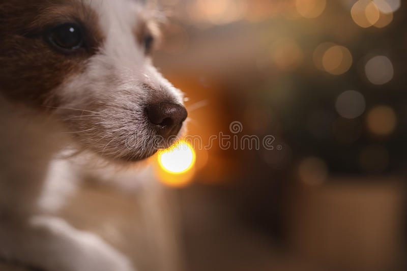 Happy New Year, Christmas, Jack Russell Terrier. holidays and celebration. Pet in the room the Christmas tree royalty free stock photo