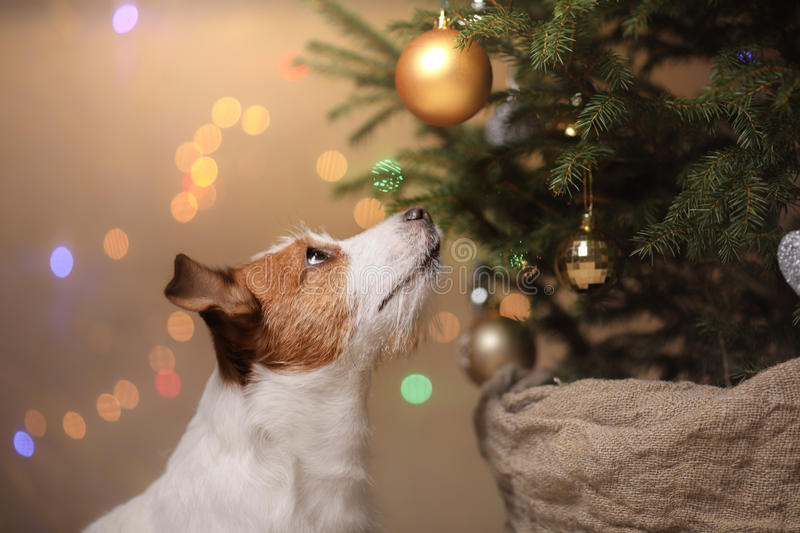 Happy New Year, Christmas, Jack Russell Terrier. holidays and celebration. Pet in the room the Christmas tree royalty free stock photos