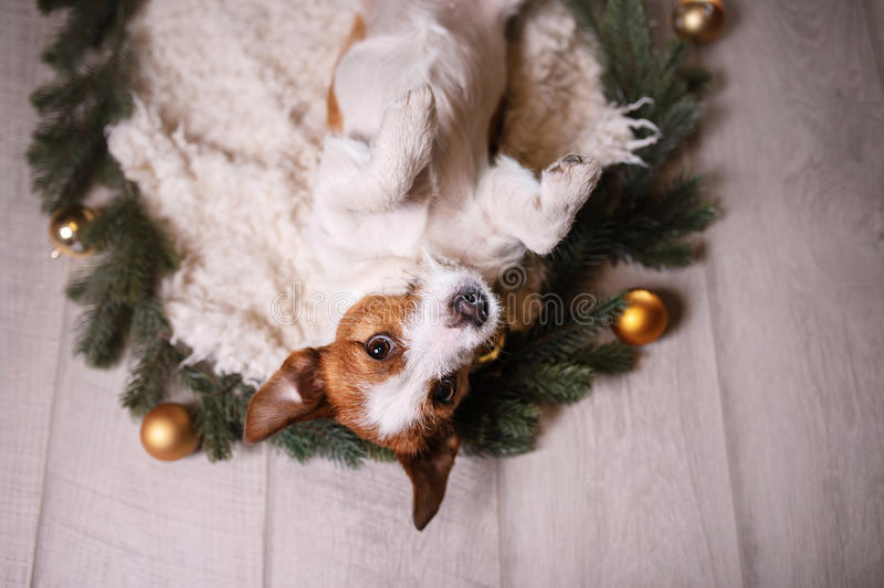 Happy New Year, Christmas, Jack Russell Terrier. holidays and celebration, pet in the room. View from above stock photos