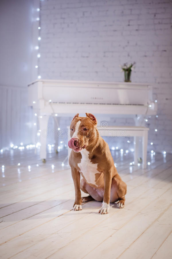 Happy New Year, Christmas, Pet In The Room. Pit Bull Dog ...