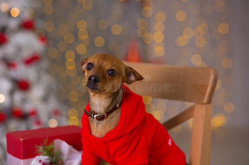 Happy New Year, Christmas, puppy dog. holidays and celebration, pet in the room the Christmas tree. Dog in Santa Claus dress royalty free stock image