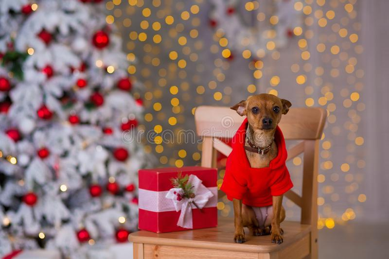 Happy New Year, Christmas, puppy dog. holidays and celebration, pet in the room the Christmas tree. Dog in Santa Claus dress stock images