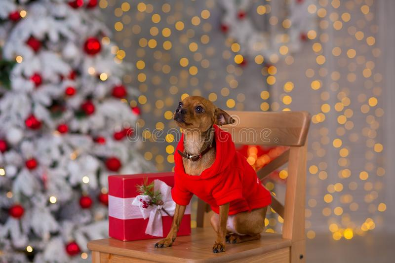 Happy New Year, Christmas, puppy dog. holidays and celebration, pet in the room the Christmas tree. Dog in Santa Claus dress royalty free stock images