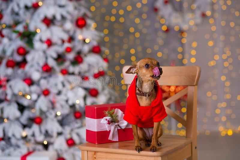 Happy New Year, Christmas, puppy dog. holidays and celebration, pet in the room the Christmas tree. Dog in Santa Claus dress stock photos