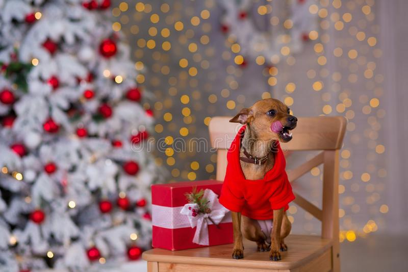 Happy New Year, Christmas, puppy dog. holidays and celebration, pet in the room the Christmas tree. Dog in Santa Claus dress royalty free stock photography