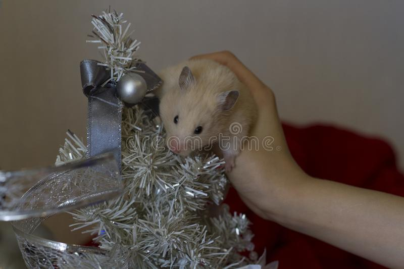 Happy New Year 2020. A little hamster sits on his hands near the Christmas tree against a green background of Christmas stock image