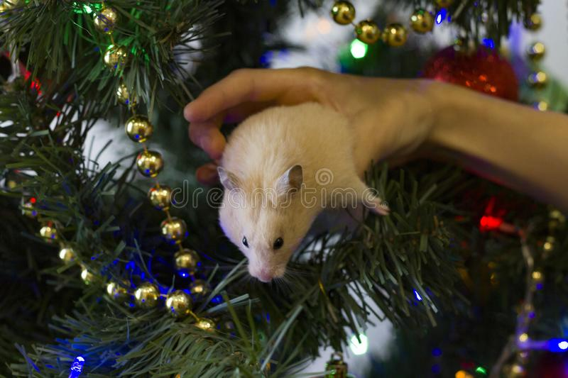 Happy New Year 2020. A little hamster sits on his hands near the Christmas tree against a green background of Christmas stock photos