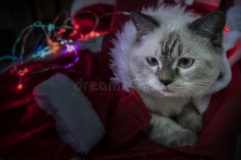 Happy New Year, Merry Christmas, puppy thai persian cat. holidays and celebration, pet in the room with Christmas light. Cat in stock photo