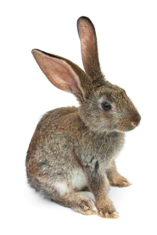 Happy New Year of rabbit. Isolated on a white background royalty free stock photos