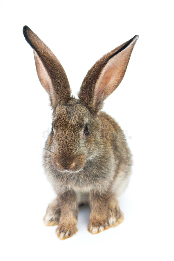 Happy New Year of rabbit. Isolated on a white background stock image