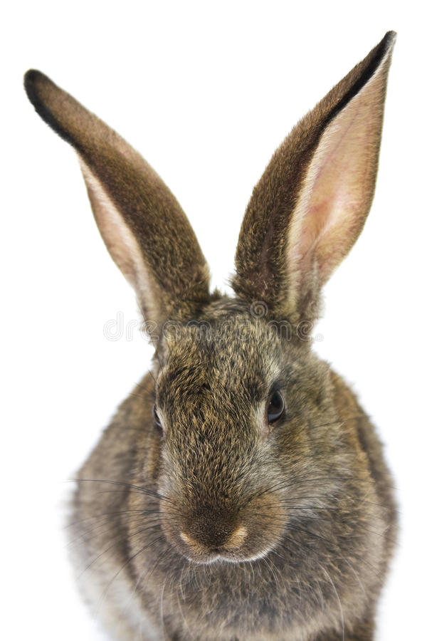 Happy New Year of rabbit. Isolated on a white background royalty free stock photo