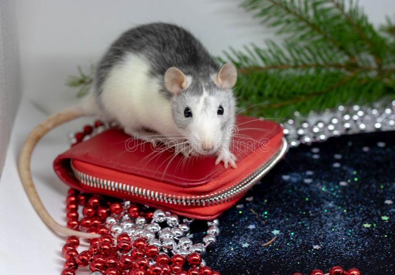 Happy New Year Symbol of 2020 New Year - white or metal silver rat. Cute rat in hat. Lady like. Reflection in mirror. Fun New Year. Animal, funny pet - rat stock images