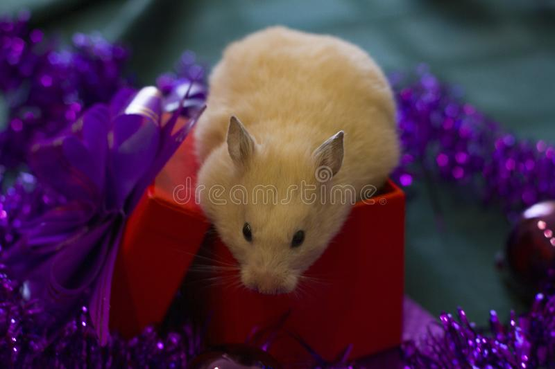 White rodent on the background of Christmas decorations and a red box. background for design Happy New Year 2020 stock images