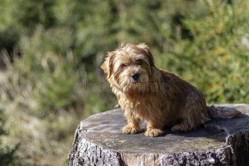 Happy Norfolk terrier dog sitting on a stump stock photos