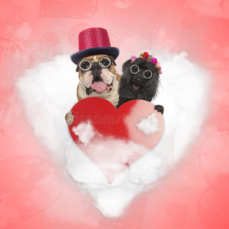 Happy old couple of dogs are still sharing their love on valentine`s day. Senior english bulldog and poodle holding a bir read heart while standing on a love stock images