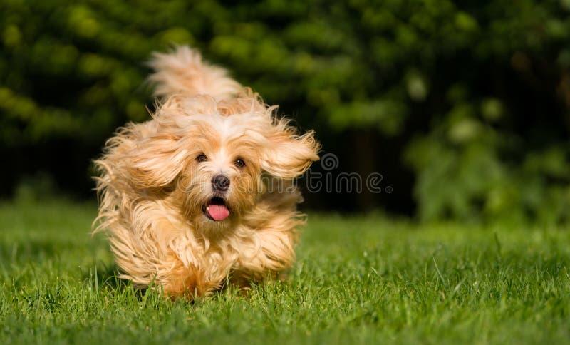 Happy orange havanese dog running towards camera in the grass royalty free stock photos