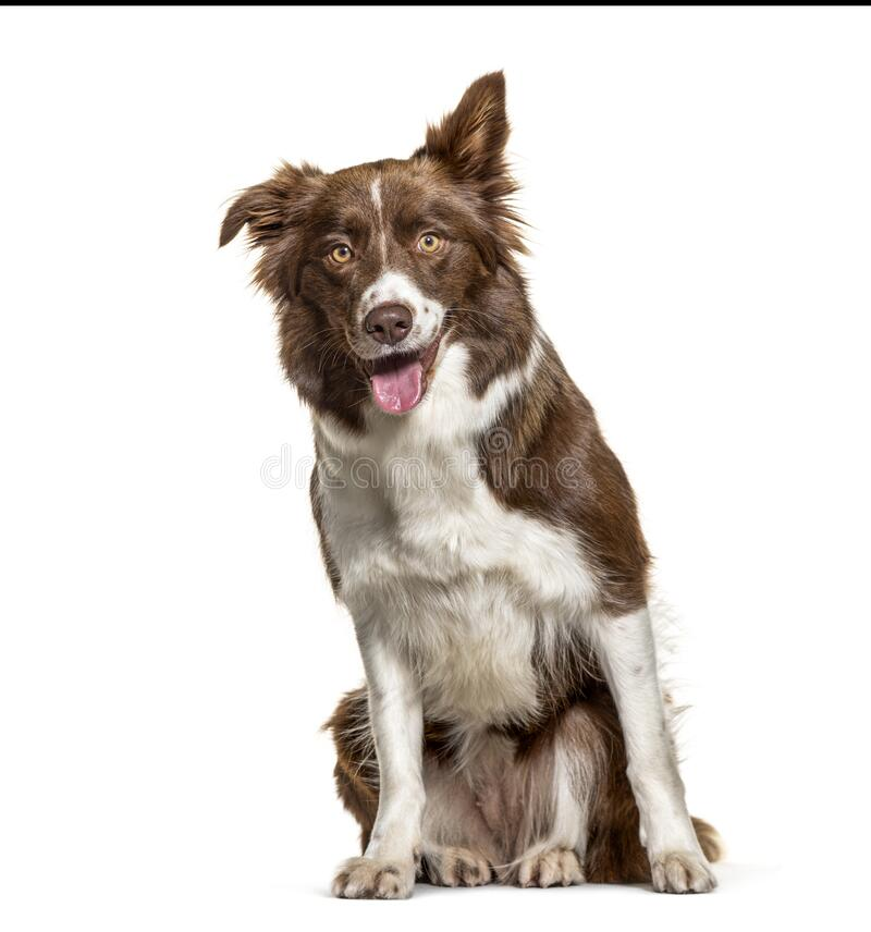 Happy panting Border Collie, isolated royalty free stock images