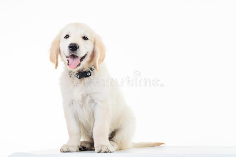 Happy panting golden labrador retriever puppy dog sitting stock images