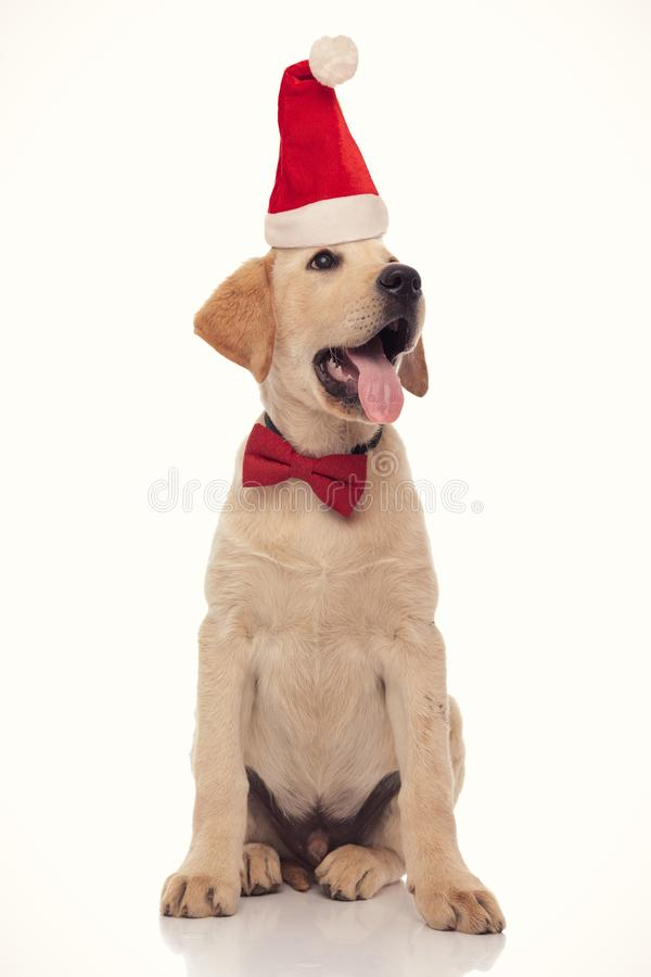 Happy panting labrador retriever puppy wearing santa hat looking up to side royalty free stock photos