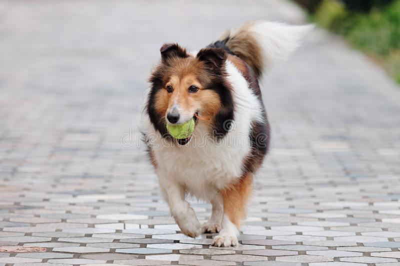 Happy pet dog playing with ball on ground, playful shetland sheepdog retrieving ball back very happy.  stock photos