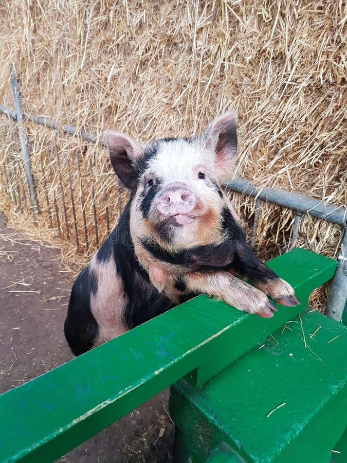 Happy piggy stock photos