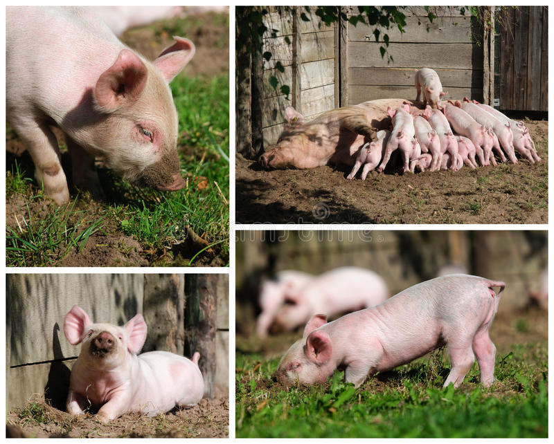 Download Happy Piglets High Resolution Stock Photo - Image: 20234140