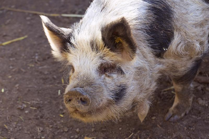 Happy pigs walk in the open air, have sufficient space and can roll in the mud. Pigs kept under friendly animal conditions are friendly farm animals, so that royalty free stock image