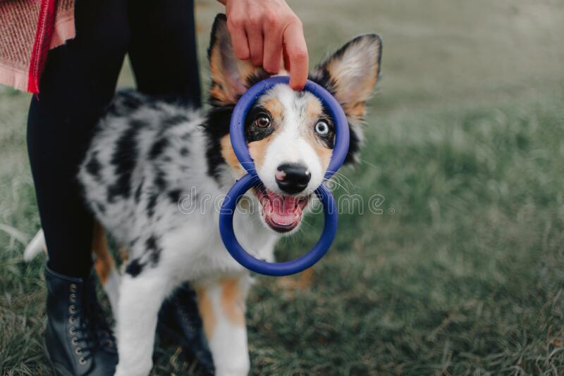 Happy playful border collie puppy outdoors stock images