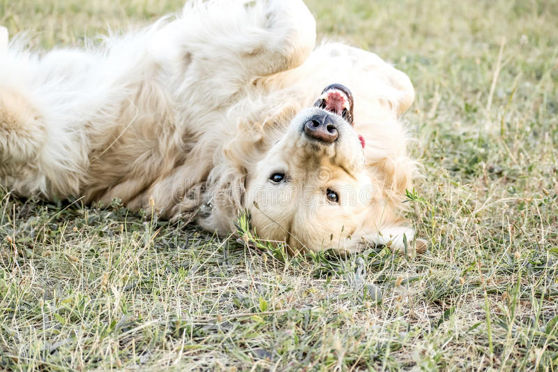 Happy playing big dog Golden retriever Lying on the back outdooor at sunner day. Family dog. stock image