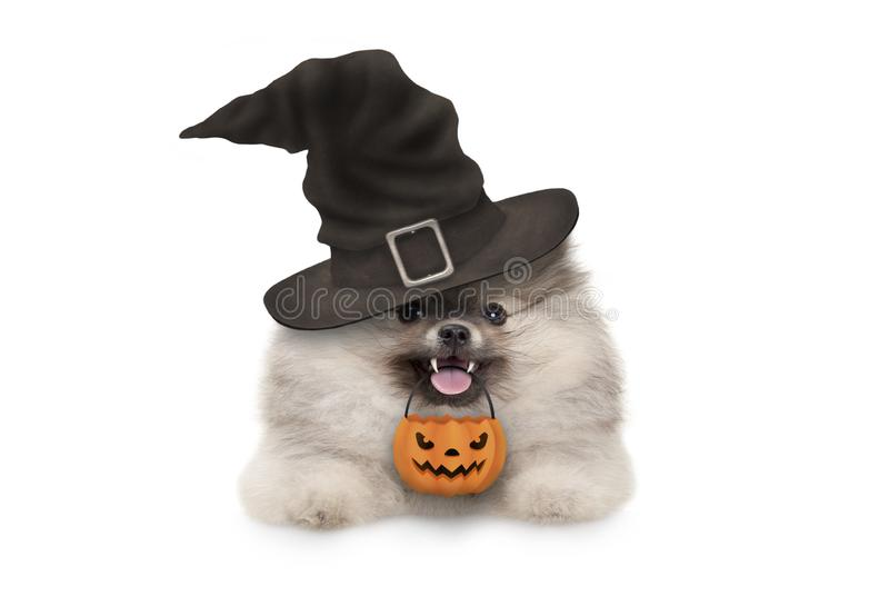 Happy pomaranian spitz Halloween puppy dog, with witch hat and orange pumpkin basket hanging with paws on white banner,.  royalty free stock photos