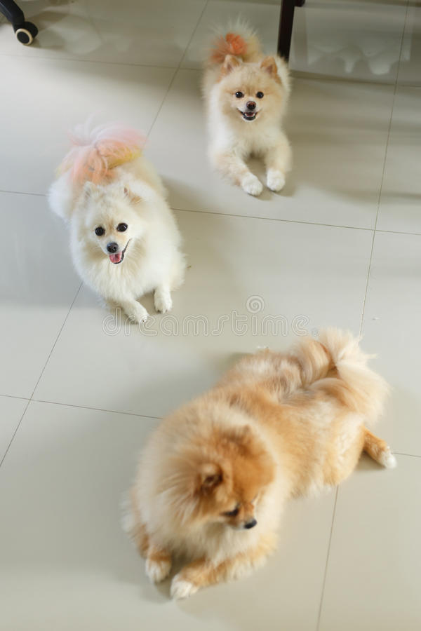 Happy pomeranian dog cute pet. Friendly in home royalty free stock images
