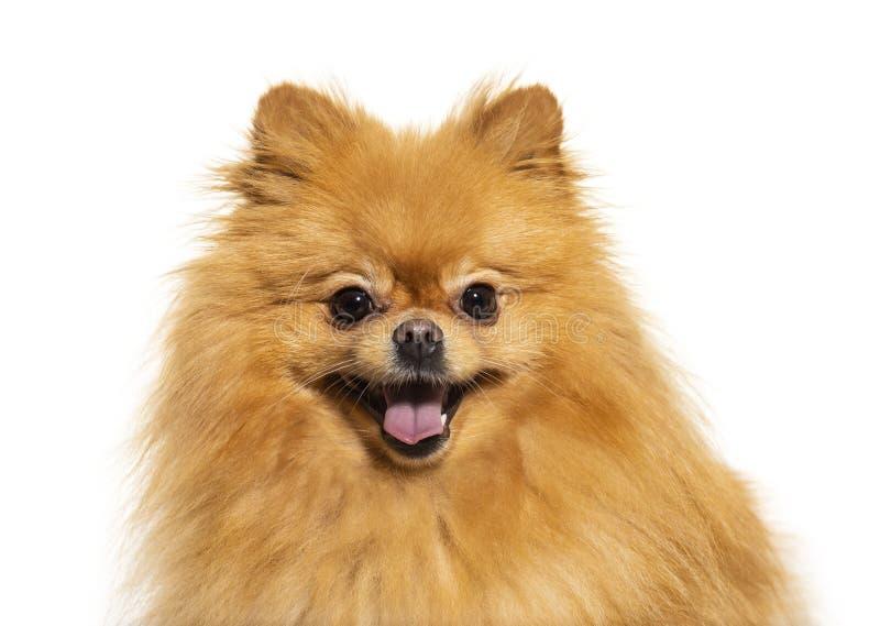 Happy Pomeranian, isolated stock photography