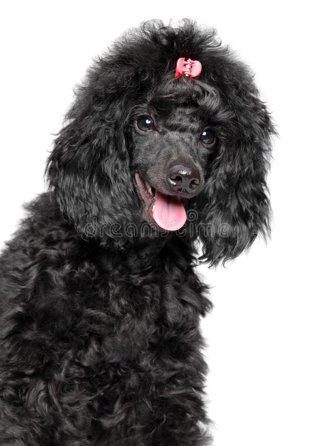 Happy poodle puppy on white background royalty free stock image