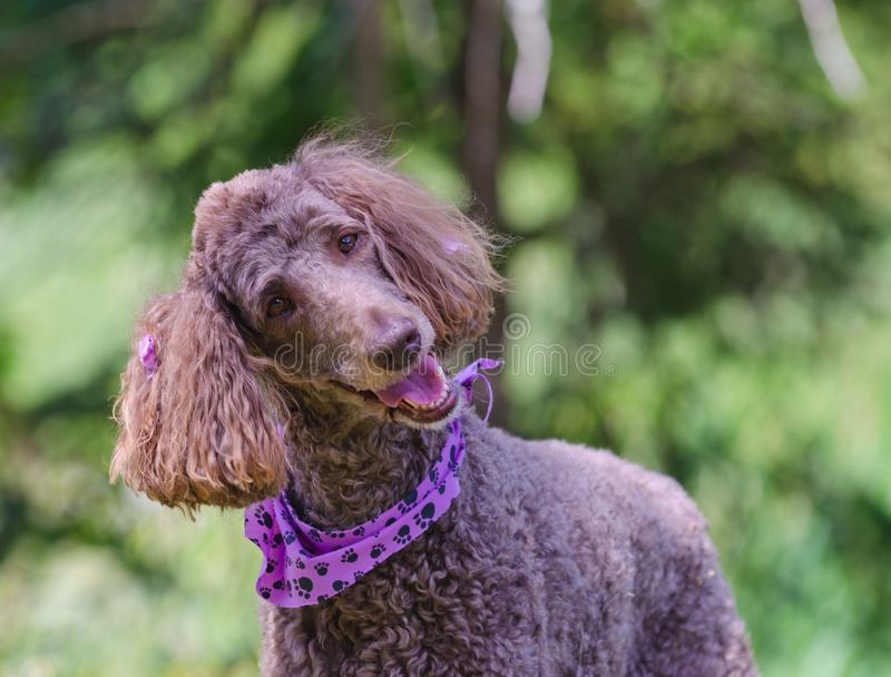 Happy Poodle with purple hair bows and neck scarf. Happy brown standard poodle with purple ear ribbons and purple neck bandanna