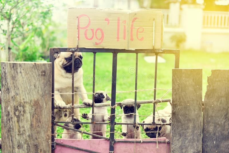 Happy Pug family in garden stock photography