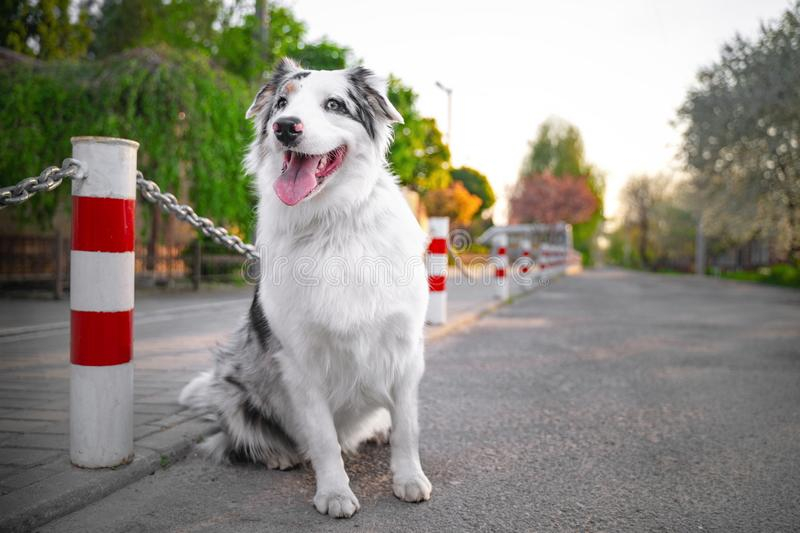 Happy purebred Australian Shepherd dog  sit smiling with the tongue, the road is not against the background of green trees and hom royalty free stock photos