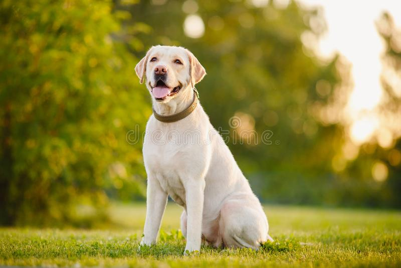Happy purebred labrador retriever dog outdoors sitting on grass park sunny summer day royalty free stock photos