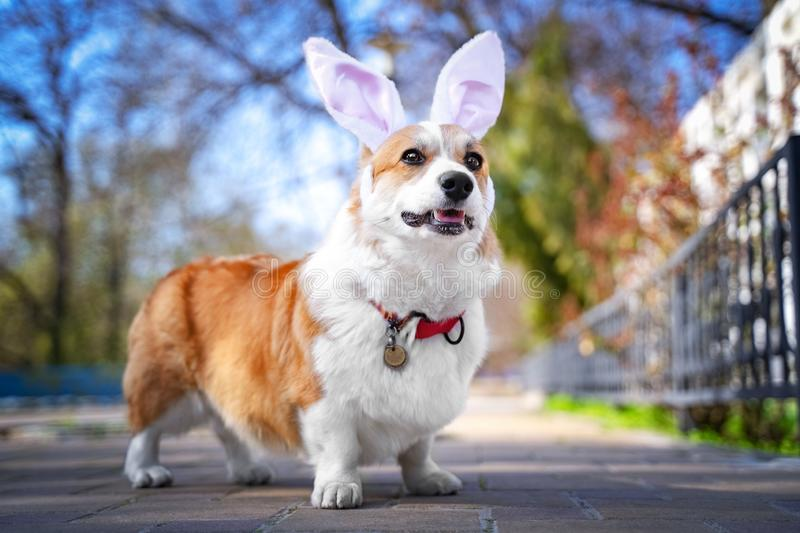 Happy purebred Welsh Corgi dog  dressed up with bunny ears costume for Easter celebration for a walk in the park at sunny lawn.  stock images