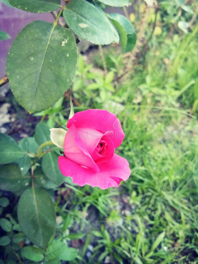 Happy rose day royalty free stock photo