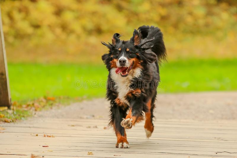 Happy running Bernese Mountain Dog royalty free stock image