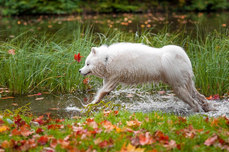 Happy Samoyed Dog Jump in Water. Water Splash. Happy Samoyed Dog Jump in Water royalty free stock photography
