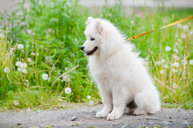 Happy Samoyed dog, white and fluffy out for a walk stock image