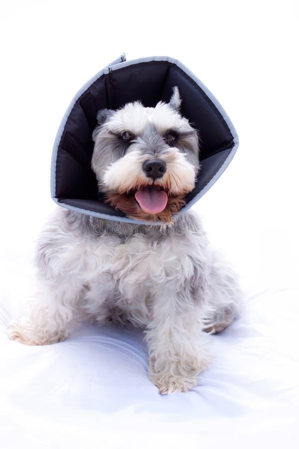 Download Happy Schnauzer Dog Wearing Elizabethan Collar Stock Image - Image: 19358275