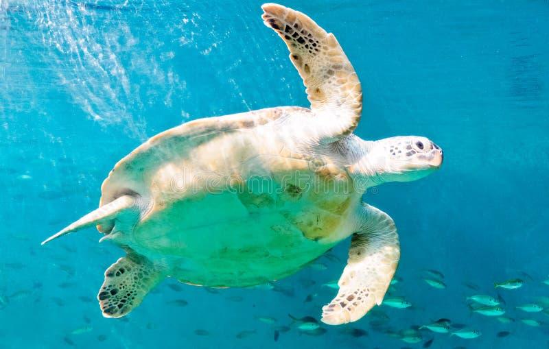 Happy sea turtles royalty free stock photo