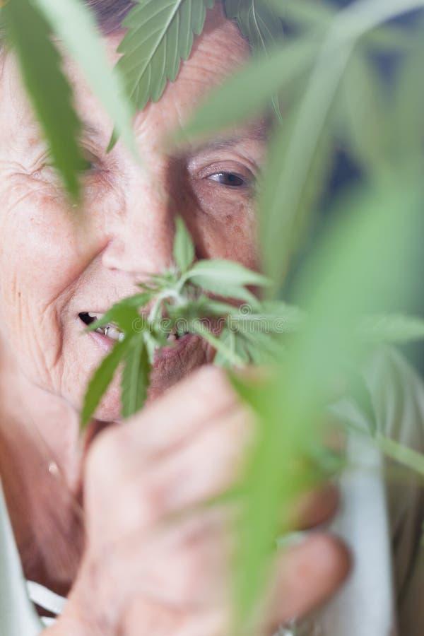 Happy senior woman smelling Cannabis plant. Closeup of happy senior woman smelling Cannabis plant stock image