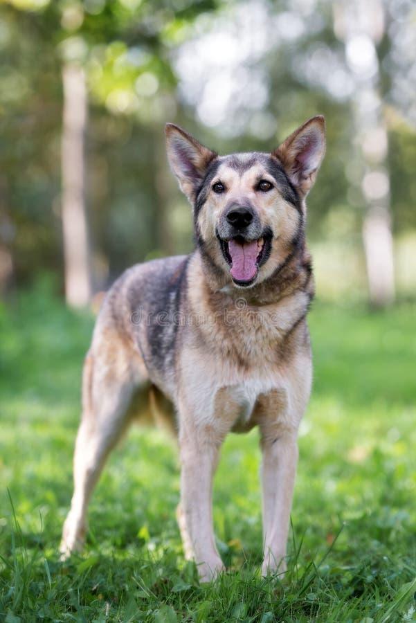 Happy shepherd mix dog posing outdoors. German shepherd mix dog outdoors royalty free stock photography