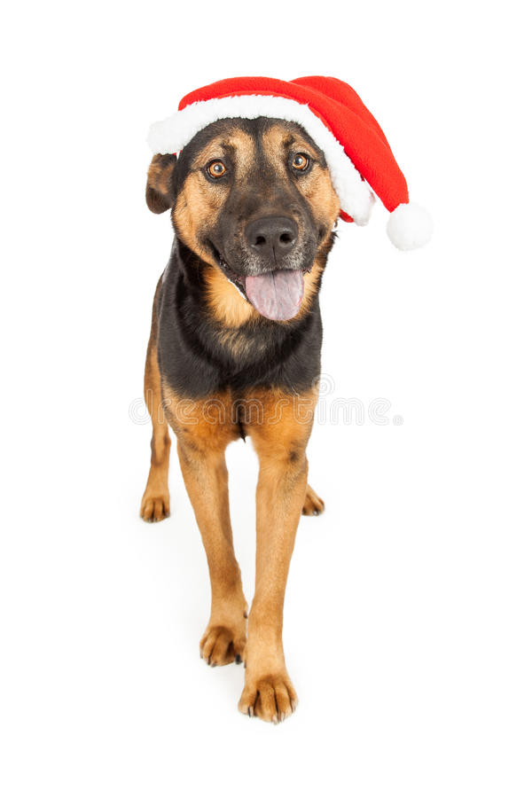 Happy Shepherd Santa Claus. A cute young Shepherd cross dog wearing a Santa Claus hat royalty free stock images