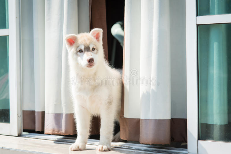 Happy siberian husky puppy standing royalty free stock photo