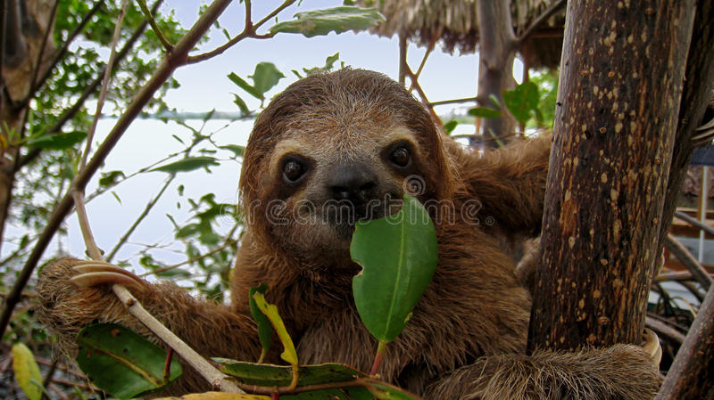 Happy sloth. Baby Brown-throated Three-toed sloth in the mangrove, Caribbean, Costa Rica