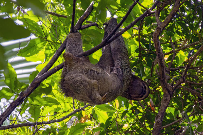 Happy Sloth hanging in a tree stock photo